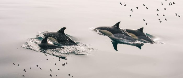 Dolphins Florin Finch